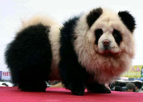 Pandahund